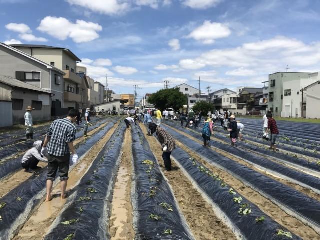 東大阪産安納芋収穫、苗付け風景
