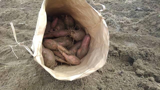 商酎、安納芋収穫